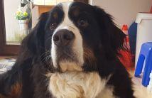 Obelix (6-jährig)